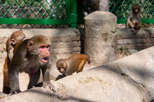 Les singes de Pashupatinath