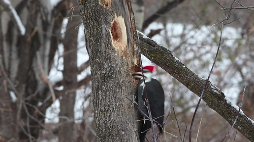 Backyard Pileated Woodpecker