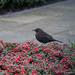 Female blackbird feeding on cotoneaster berries