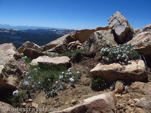 Trail-side wildflowers high on Bald Mountain, Uinta Mountains, Utah