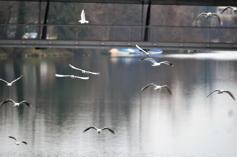 Gulls 05.12 (14)