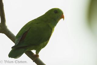 Vernal Hanging Parrot.