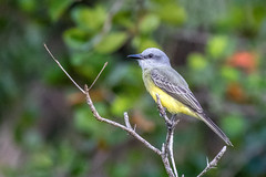 Belize  Couch's Kingbird