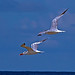 2018.09.08 Anastasia State Park Terns 2.art