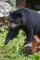 Spectacled bear leaving the log