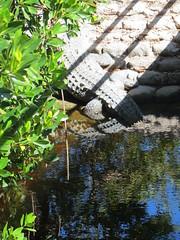 20170211 54 Crocodile, Everglades National Park