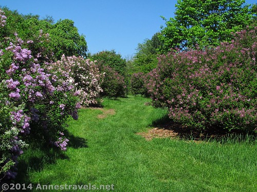 The Lilac Bushes at the Willowwood Arboretum, Morris County, New Jersey
