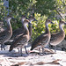 West Indian Whistling-Duck Dec 2018 by scelorchilus