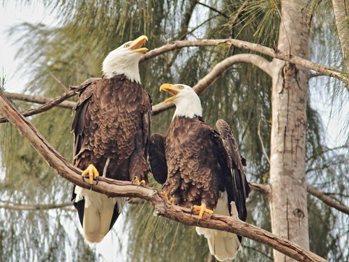 Bald Eagles Jewel and Pride 07-20181117