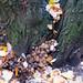 Autumn fungi: glistening inkcap cluster