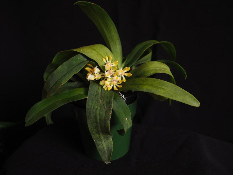 Les Orchidées chez Cloo en 2018 - Page 22 31958922418_54aebcd787_c