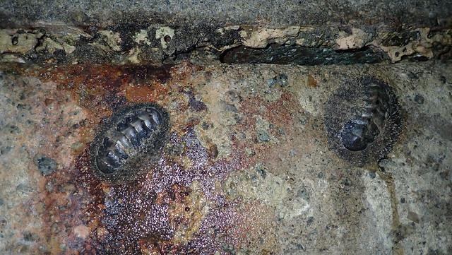Chiton (Acanthopleura gemmata)?