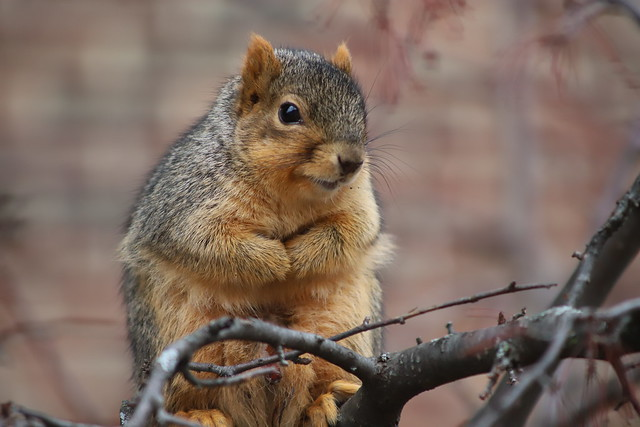 219/365/3871 (January 16, 2019) - Fox Squirrels in Ann Arbor at the University of Michigan - January 16th, 2019