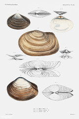 Clam shell varieties vintage poster