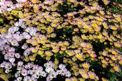 2018 Taipei chrysanthemum show