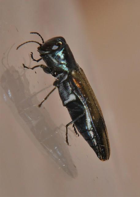 Mandalay Jewel beetle Agrilaxia sp Chalcophorinae Buprestidae Airlie Beach rainforest P1100421