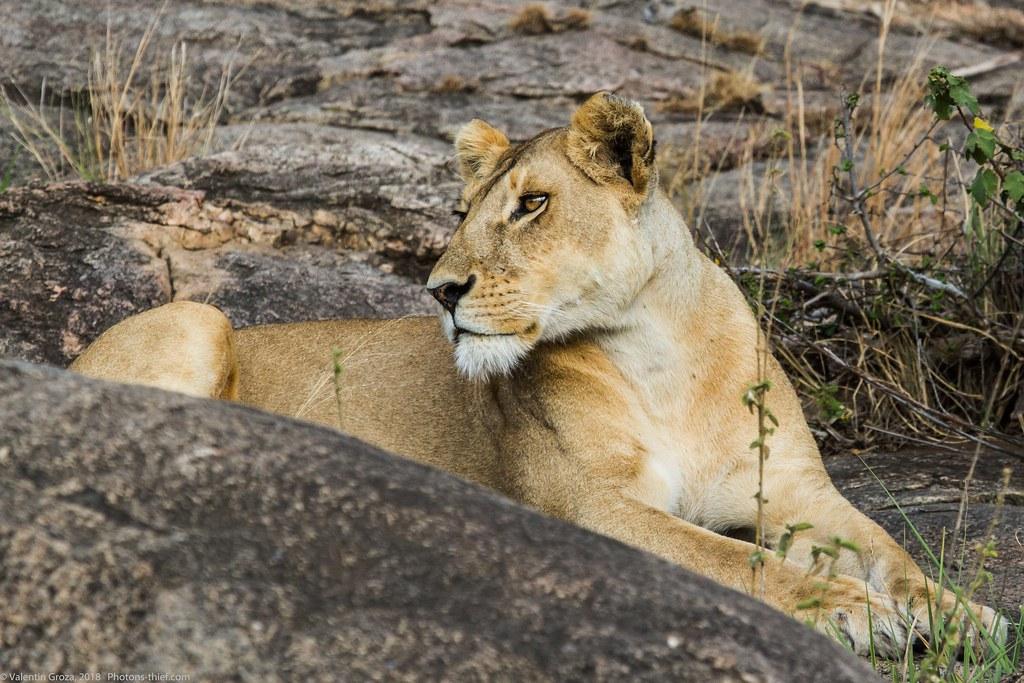 Leoaica cu pui_septembrie18_Serengeti_08