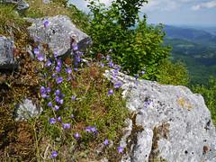 Bellflower (Campanula sp.), Chateau de Montsegur - Photo of Saint-Jean-d'Aigues-Vives