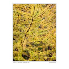 Autumn Tamarack