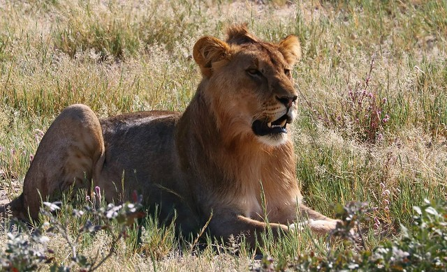 African Lion - Panthera, Canon EOS 80D, Canon EF 70-300mm f/4-5.6L IS USM