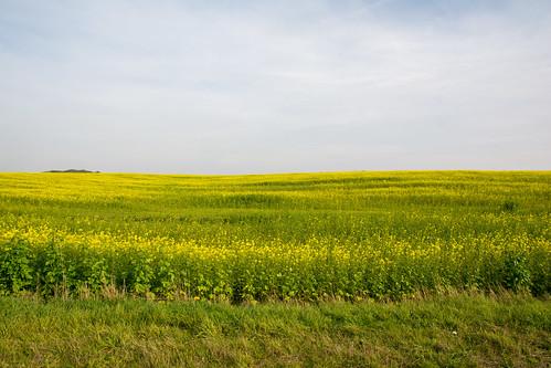 Rape field.
