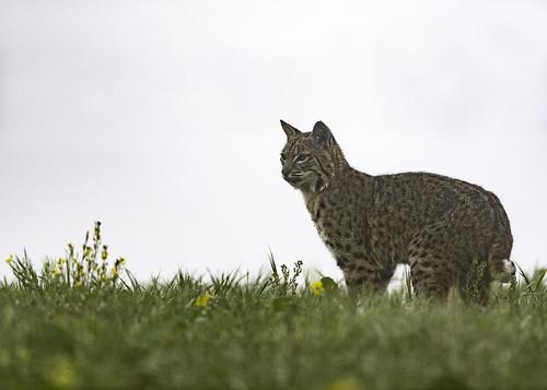 Bobcat (Explored 1-15-19)