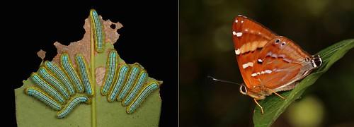 METAMORPHOSIS - Mixed Punch (Dodona ouida, Riodinidae)