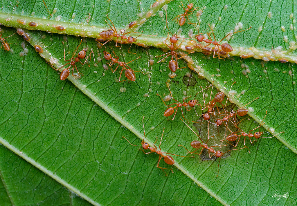 Weaver ants tending to scale insects