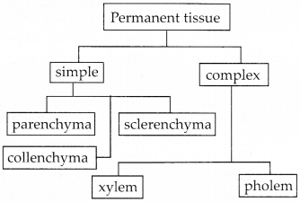 NCERT Solutions for Class 9 Science Chapter 6 Tissues 4