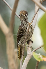 Cardinal Woodpecker - Rift Valley - Kenya CD5A7058