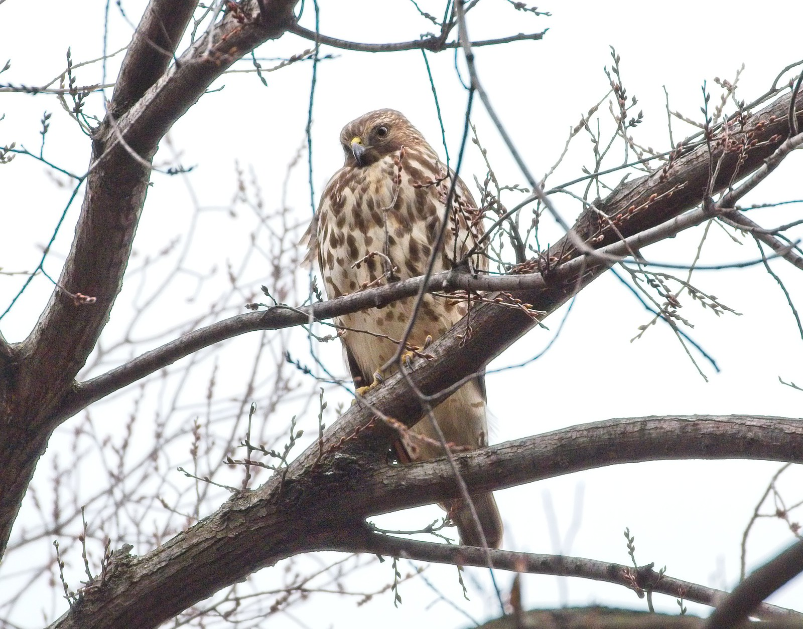 Red-shouldered hawk in Tompkins Square