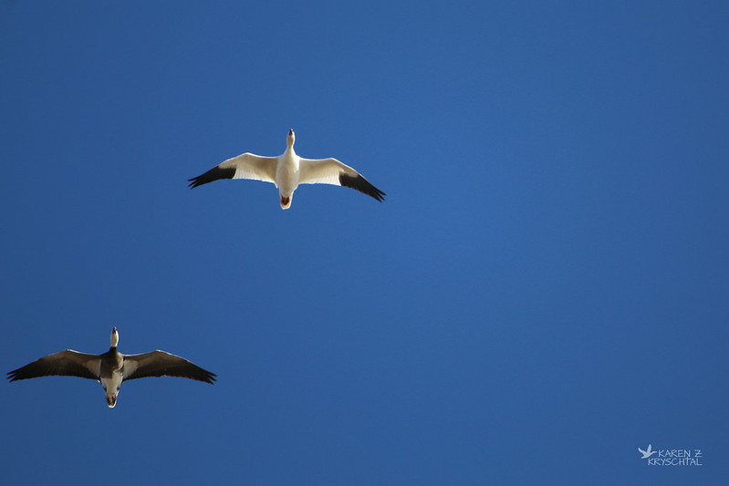 IMG_8101SnowGeese