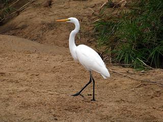 Great Egret - Ardea alba - Daisagi