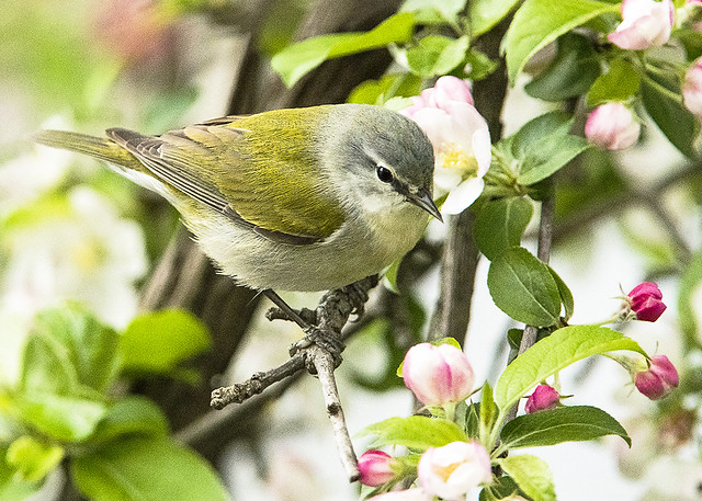 Tennessee Warbler_Flowering Crabapple Tree