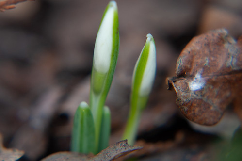 Snowdrops, just emerging, Castle Grounds, Bridgnorth