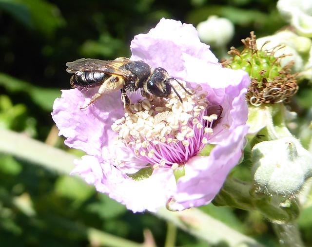 Solitary bee on bramble on Fishchowter's Lane
