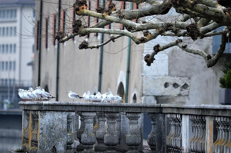 Gulls 05.12 (2)