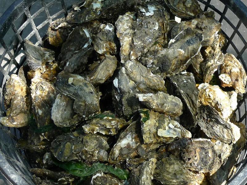 台灣牡蠣養殖產業主力為葡萄牙牡蠣,並非世界上多數養殖的太平洋牡蠣。農委會提供。
