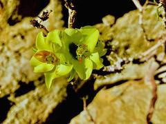 Pequeña araña bajo flor amarilla. Desierto de Atacama Costero. Caldera-Chile