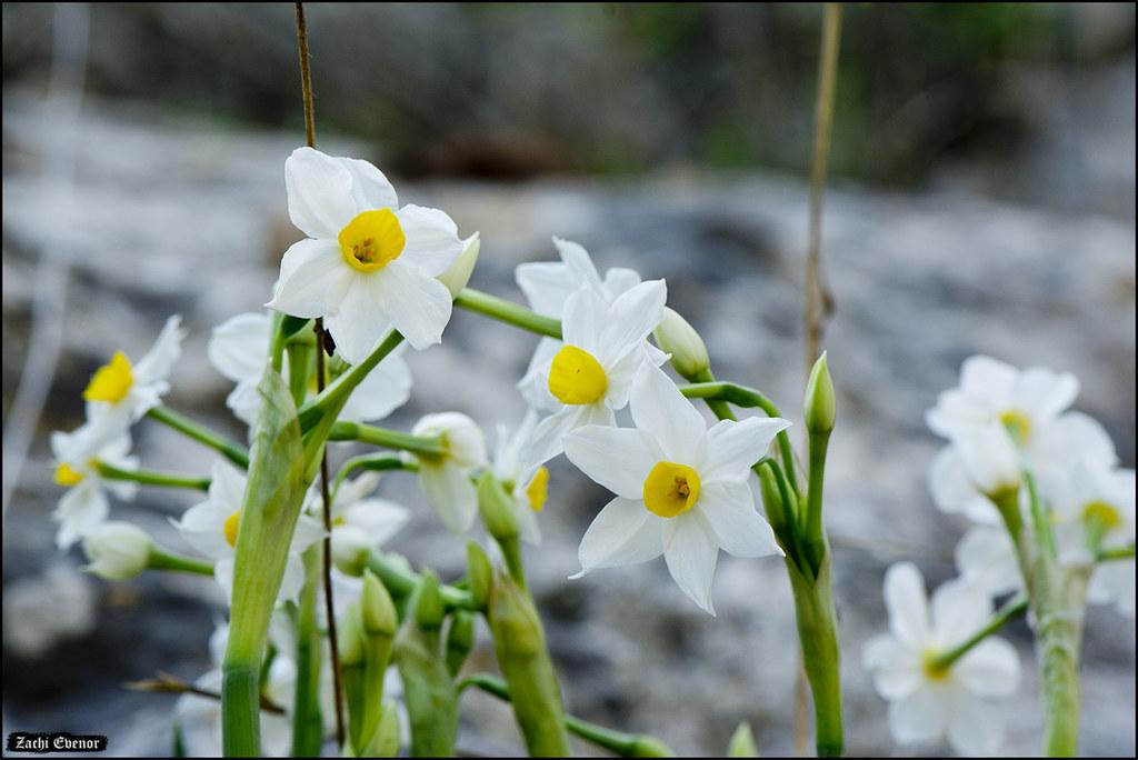 Narcissus tazetta in Horashim-2018-11-10-IZE-005