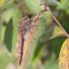 Steenrode heidelibel met prooi-Vagrant Darter with prey (Sympetrum vulgatum)