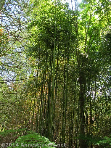 Bamboo forest in the Willowwood Arboretum, Morris County, New Jersey
