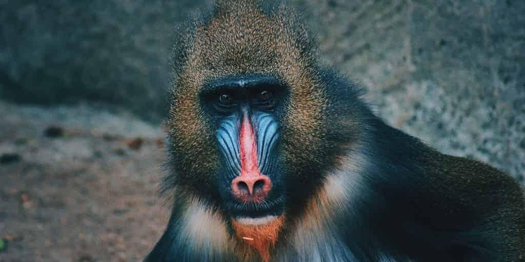 Transplantation réussie de coeurs de porcs dans des babouins