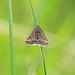 Pyrausta despicata, Hodbarrow, Cumbria, England