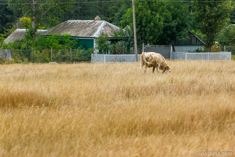 Воронежская область, корова