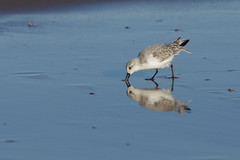 K32P0163c Sanderling, Titchwell Beach, November 2018
