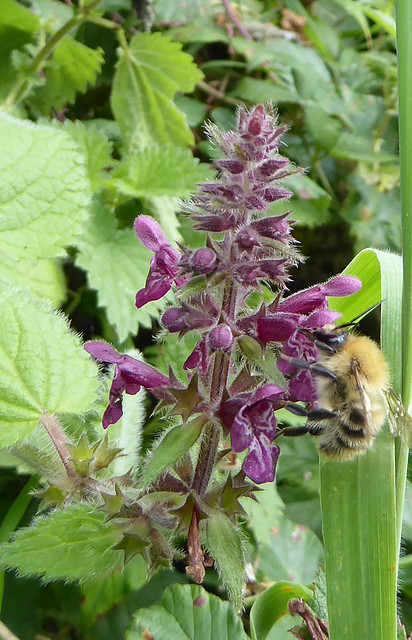 Common carder bee on hedge woundwort