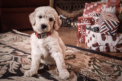 Christmas Puppy.jpg