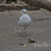 Herring Gull, Dinner 3