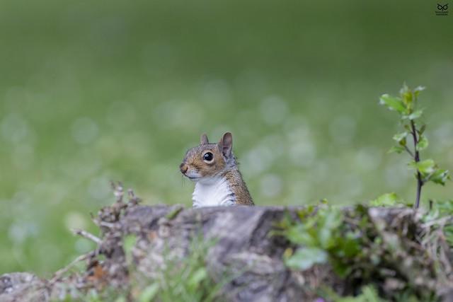 Esquilo-cinzento, Grey squirrel (Sciurus carolinensis)